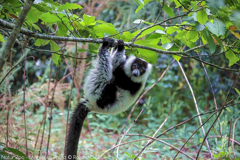 Observer des lémuriens de près au zoo de Mervent