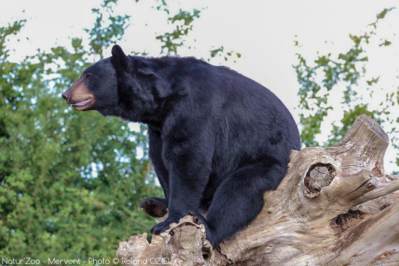 ours au zoo de mervent