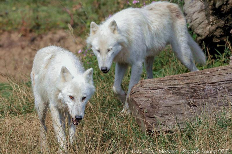 Loups blancs au zoo de mervent