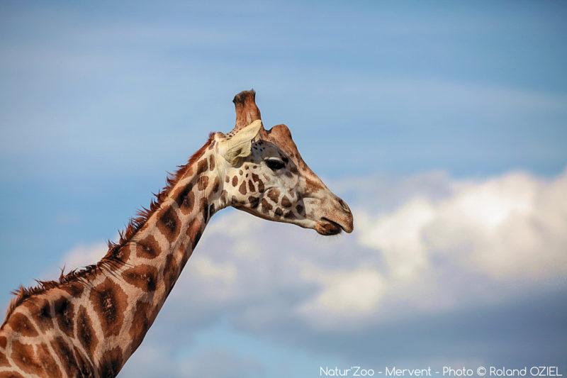 Girafes au zoo de mervent
