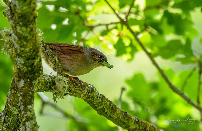 Accenteur mouchet oiseau pendant votre séjour nature au camping