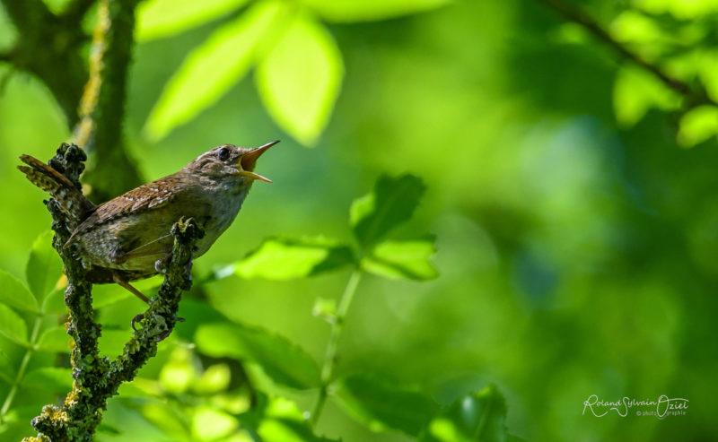 Troglodyte mignon oiseau de la campagne proche du camping