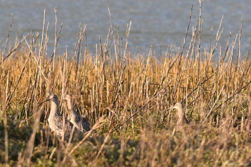 Courlis oiseau des marais